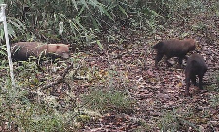 3 bush dogs in jungle