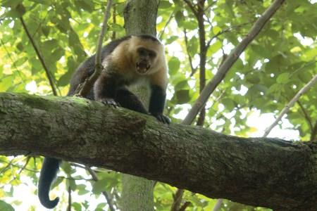 Capuchin exposing its teeth