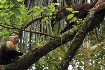 Capuchin and Coati on a tree branch