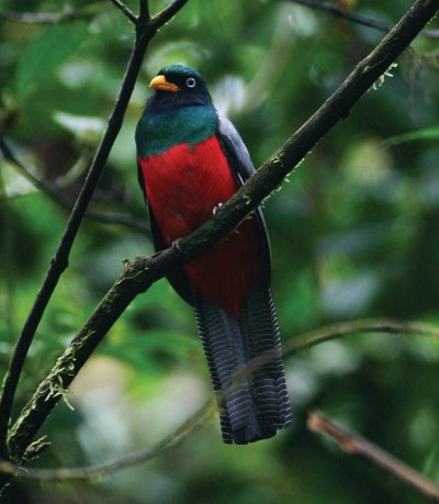 Lattice Tailed Trogon