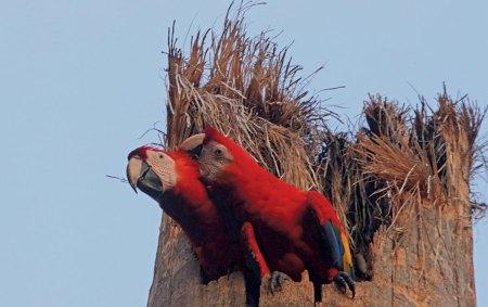 Nesting Macaws