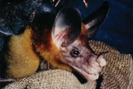 False vampire bat close-up