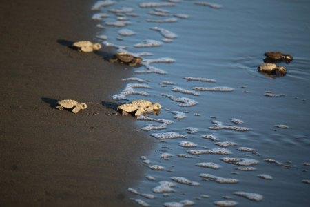 Turtles reaching surf