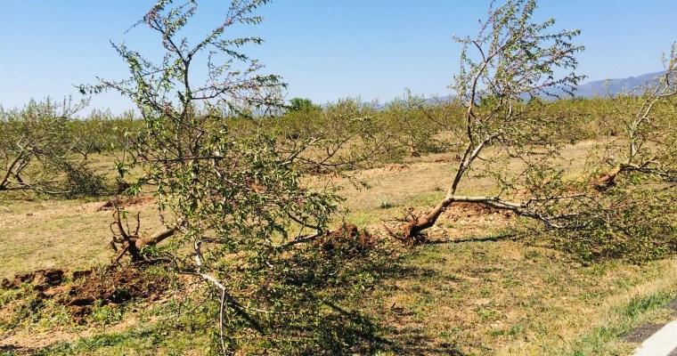 12.000€ Verlust: Pfirsichbäume müssen sterben