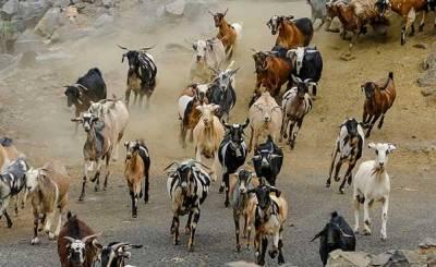 Cabras corriendo
