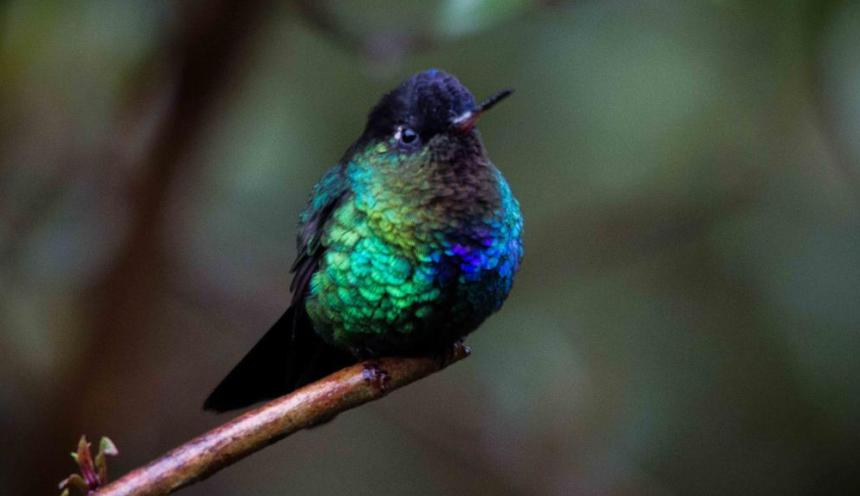 Description of the Fiery-Throated Hummingbird