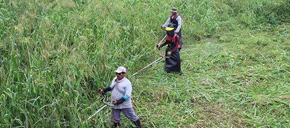 Personal de áreas verdes inicia limpieza en riberas   del río Quevedo