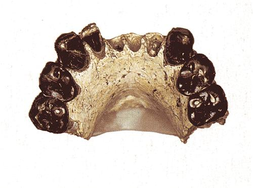 Resultado de imagem para Australopithecus bahrelghazali
