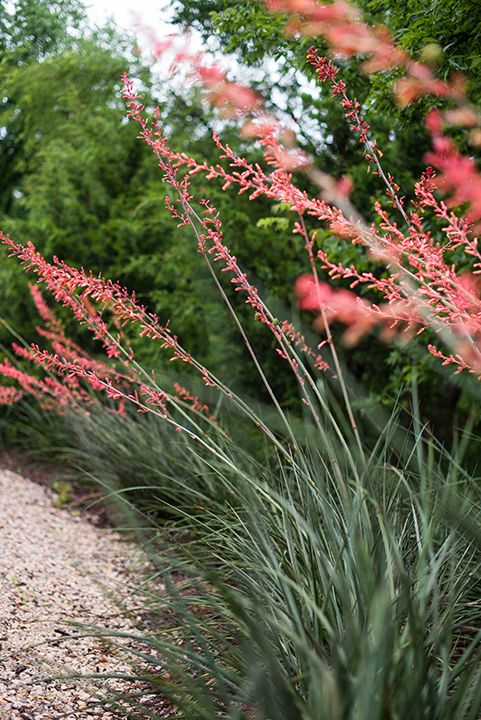 Red flowered yucca bush