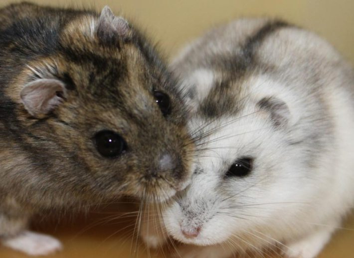 Fun-Interesting-Facts-About-Hamsters-1