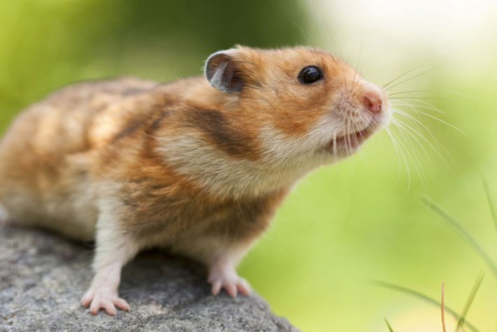 Fun-Interesting-Facts-About-Hamsters-2