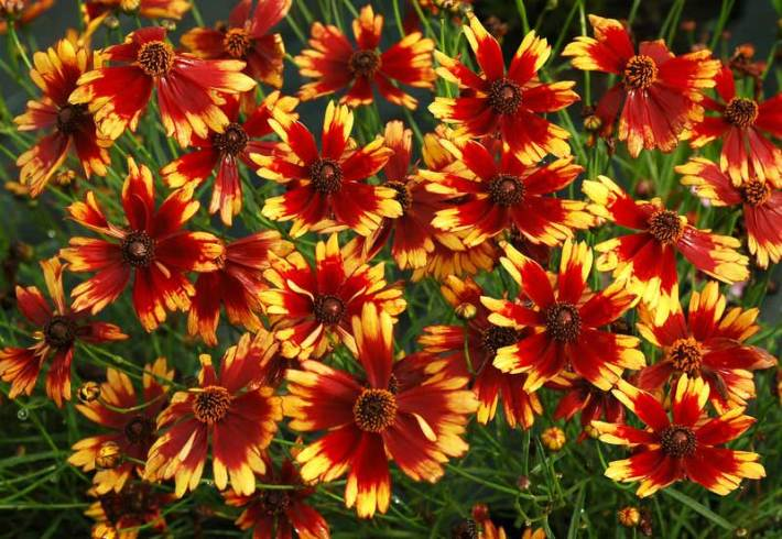 Coreopsis Planting and Growing Tips