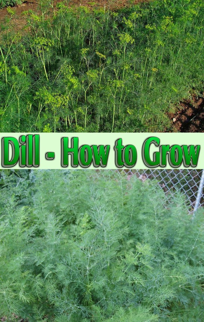 Dill – How to Grow