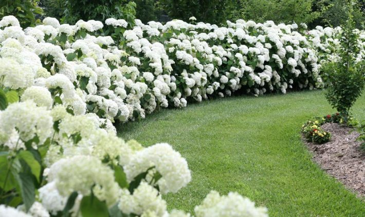 Hydrangea arborescens in the garden