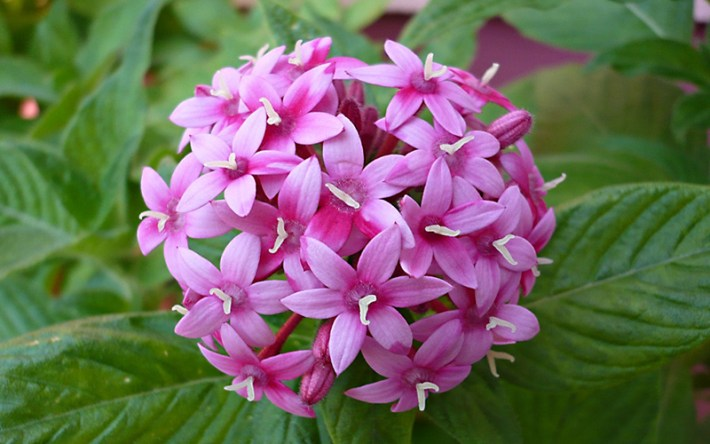 Spice-Up-Your-Garden---pentas-lanceolata