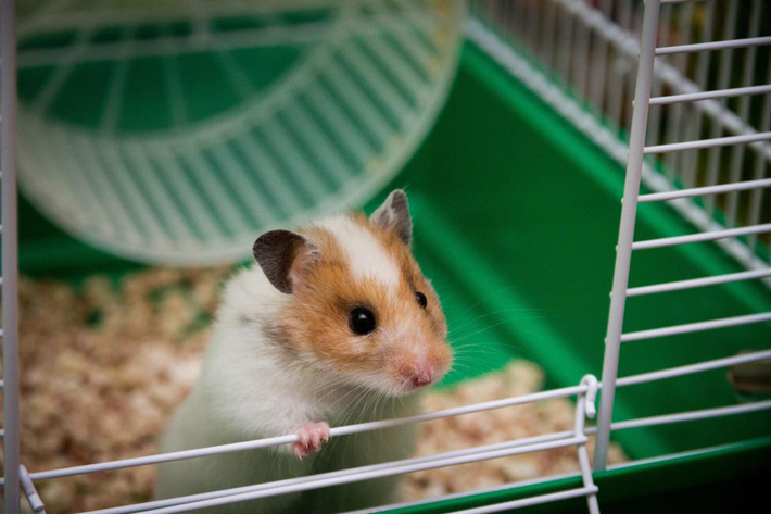 Syrian Hamster - Small Pet Buddy