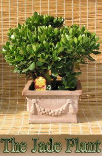 Easy To Grow Houseplant: The Jade Plant