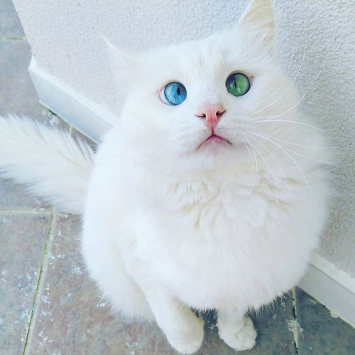 Aloş- Cat With Hypnotizing Eyes Of Different Color
