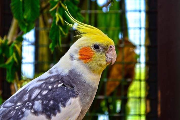 Caring for Your Cockatiel