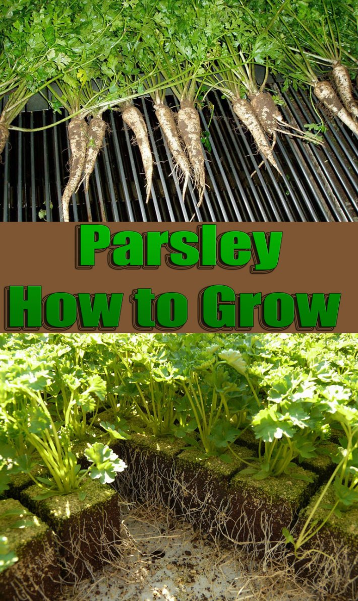 Parsley – How To Grow