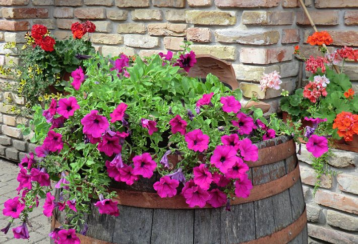 Add Colors In Your Garden – Grow Petunias
