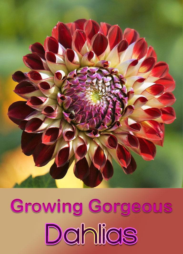 Guide To Growing Gorgeous Dahlias - Quiet Corner