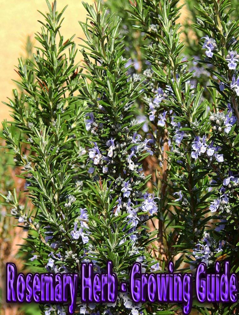 Rosemary Herb - Growing Guide - Quiet Corner