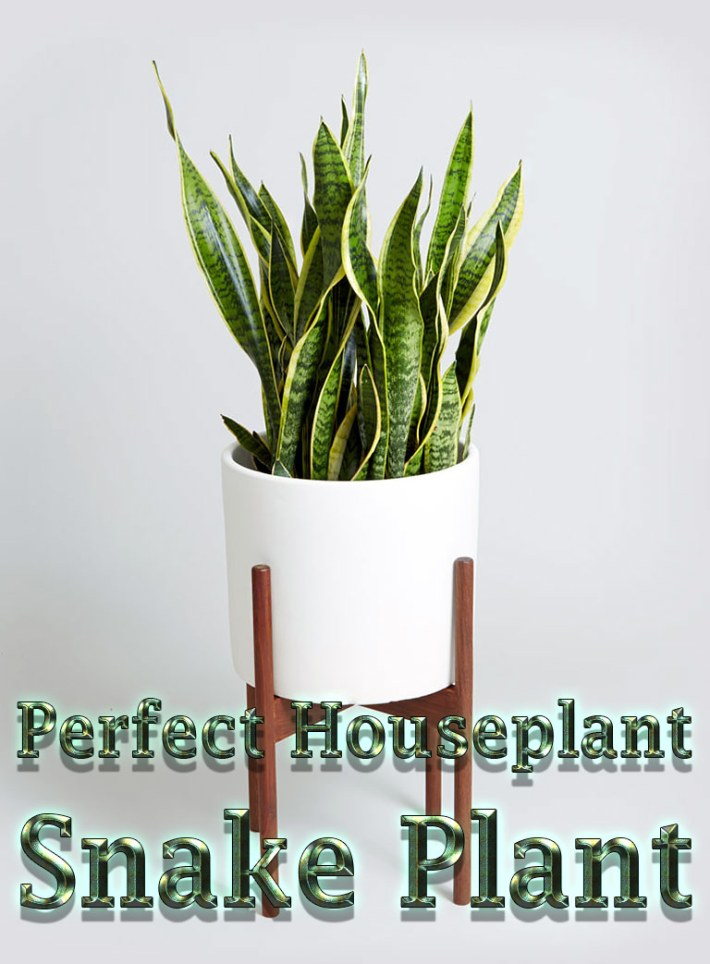 Snake Plant – Perfect Houseplant