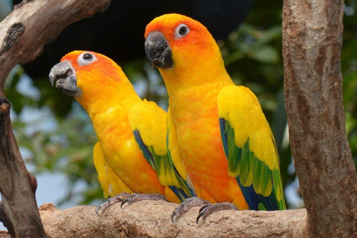 Lovely Sun Conure Parrot