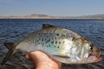 Shad - Fish That Made America Great