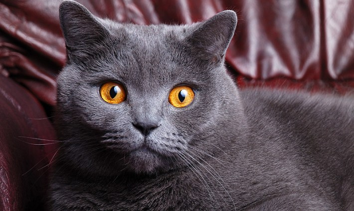 British Shorthair Cat - Breed Info