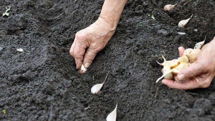 Garlic - Growing Guide