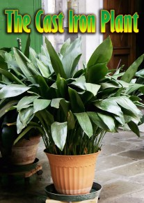 Aspidistra Elatior / The Cast Iron Plant
