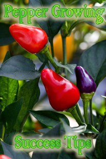 22 Pepper Growing Success Tips