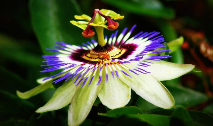 Growing Passion Flowers