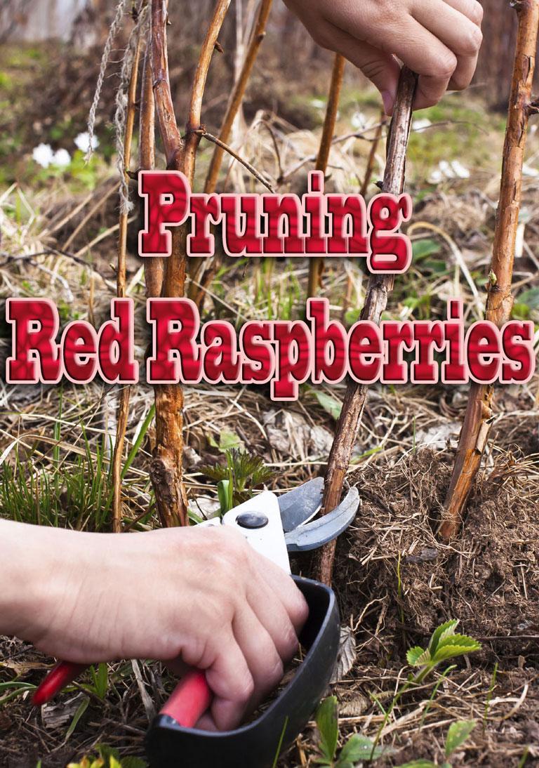 How To - Pruning Red Raspberries - Quiet Corner