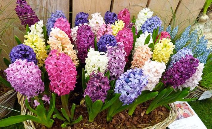 Hyacinth - Growing Guide