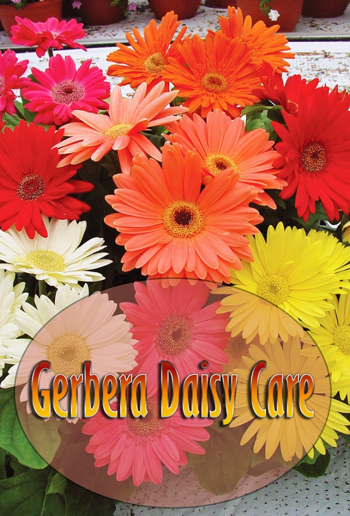 All About Gerbera Daisy Care