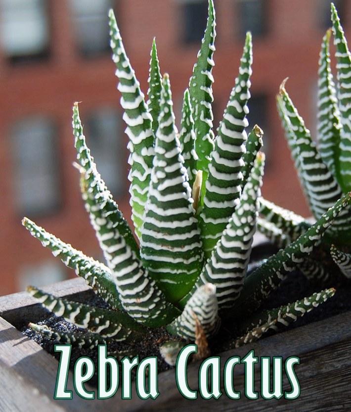 Haworthia (Zebra Cactus) – Super Succulent