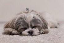 Are Your Carpet Cleaners Poisoning Your Pets