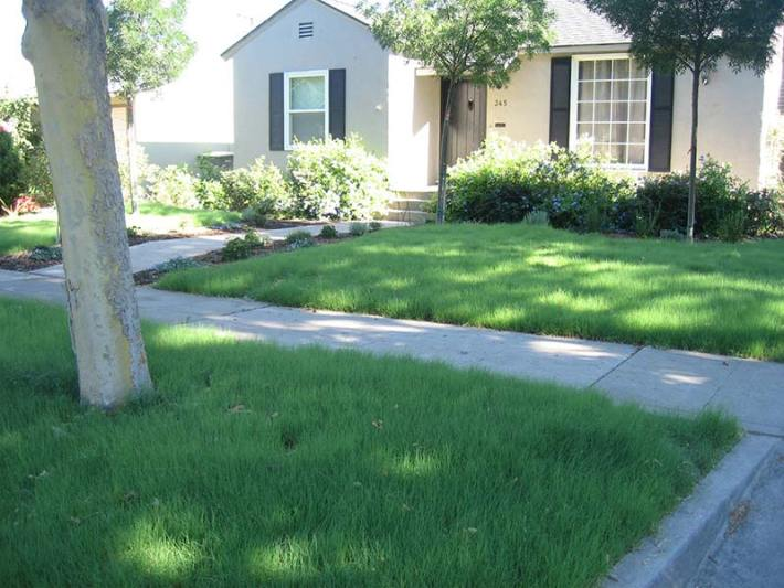 Buffalo Grass for Lawns