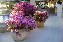How to Grow a Bougainvillea from Cuttings