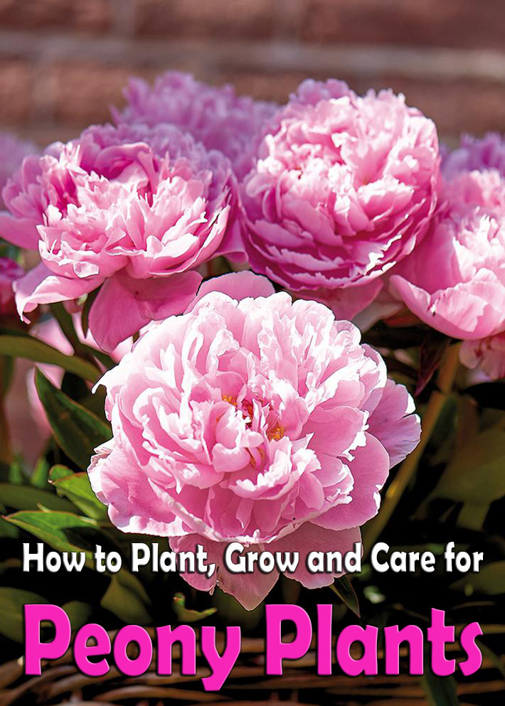 Peonies: How to Plant, Grow and Care for Peony Plants