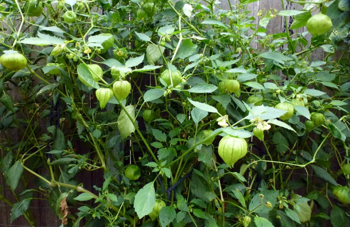 Gardening Guide - How to Grow Tomatillos