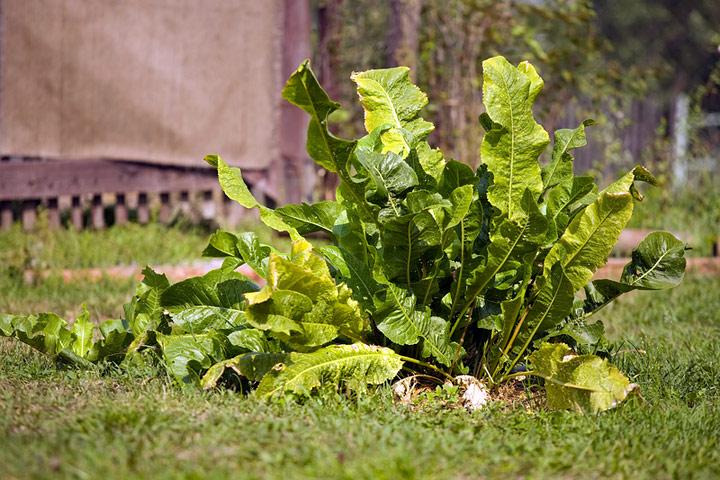 How To Grow and Prepare Horseradish - Quiet Corner