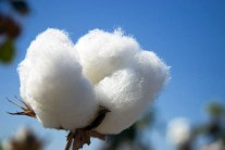 Everything You Need to Know About Organic Cotton
