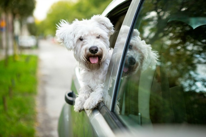 Dogs Behavior - Why do Dogs Like Car Rides?