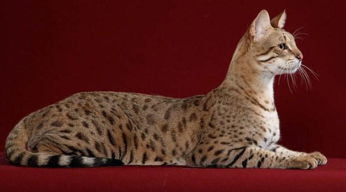 Cat Breed Info - Savannah Cat