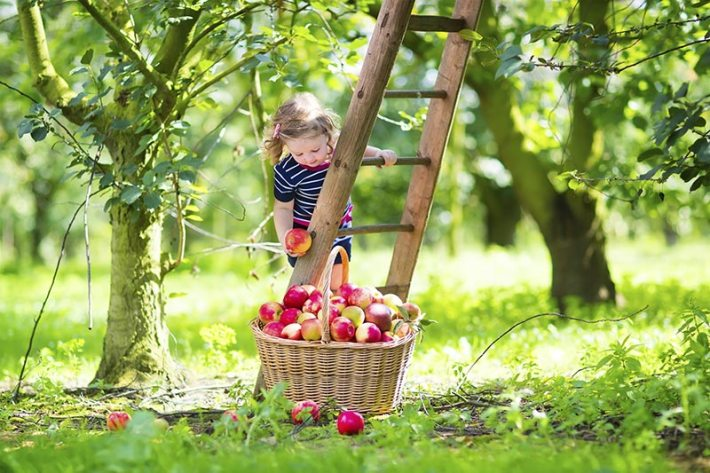 Apple Tree - Planting, Growing,Pruning and Harvesting
