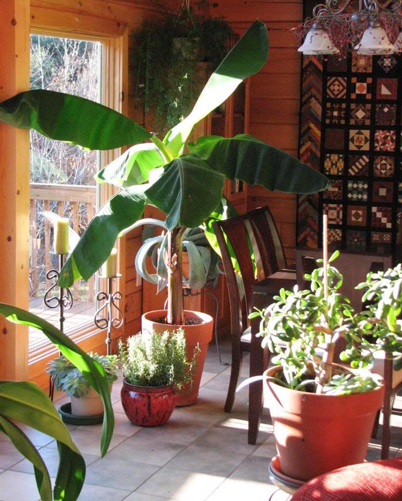 Quiet Corner:How To Grow Banana Trees In Pots